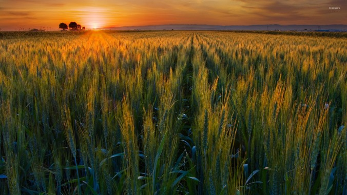 green-wheat-field-in-the-sunset-23530-1920x1080